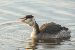 Great Crested Grebe eating an European Perch Stock Photos
