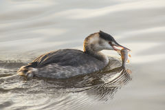 Great Crested Grebe eating an  European Perch Stock Photography