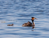 Great crested grebe family Stock Photography