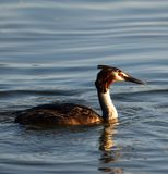 Great Crested Grebe Stock Photos