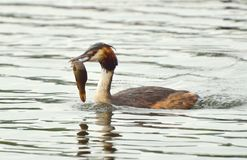 Great Crested Grebe Feeding Stock Photography