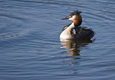 Great Crested Grebe female. Female Great Crested Grebe with two fluffy, striped young grebe Stock Photo