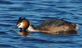Great Crested Grebe, Fuut, Podiceps cristatus. Great Crested Grebe adult hunting; Fuut volwassen jagend stock photos