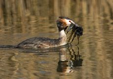 Great Crested Grebe, Fuut, Podiceps cristatus. Great Crested Grebe adult with nestmaterial; Fuut volwassen met nestmateriaal stock photography