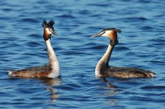 Great Crested Grebe, Fuut, Podiceps cristatus. Great Crested Grebe courtship; Fuut baltsend royalty free stock photography
