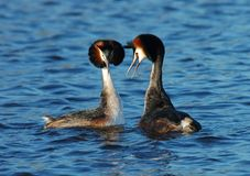 Great Crested Grebe, Fuut, Podiceps cristatus. Great Crested Grebe courtship; Fuut baltsend stock image