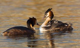 Great Crested Grebe, Fuut, Podiceps cristatus. Great Crested Grebe feeding young; Fuut jongen voerend stock photo