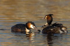 Great Crested Grebe, Fuut, Podiceps cristatus. Great Crested Grebe feeding young; Fuut jongen voerend royalty free stock photos