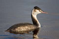 Great Crested Grebe, Fuut, Podiceps cristatus