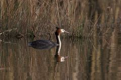 Great crested grebe before gras. A great crested grebe swimming Royalty Free Stock Photos
