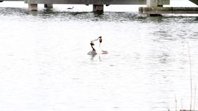 Great Crested Grebe stock video