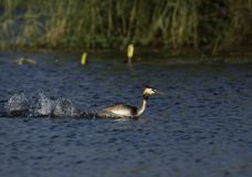 Great Crested Grebe from Gujarat, India stock photo