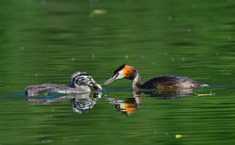 Great crested grebe handing fish to chick stock photo