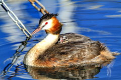 Great crested grebe with his baby Royalty Free Stock Images