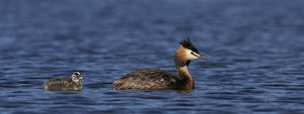 Great crested grebe Podiceps cristatus. Great crested grebe in its natural habitat in Denmark royalty free stock image