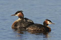 Great crested grebe Podiceps cristatus. Great crested grebe in its natural habitat in Denmark stock image
