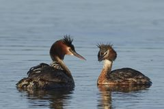 Great crested grebe Podiceps cristatus. Great crested grebe in its natural habitat in Denmark stock photos