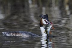 Great crested grebe Podiceps cristatus. Great crested grebe in its natural habitat with a fish in its beak royalty free stock image