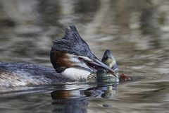 Great crested grebe Podiceps cristatus. Great crested grebe in its natural habitat with a fish in its beak stock photo