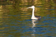 Great Crested Grebe, juvenile Royalty Free Stock Photo
