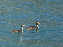Great Crested Grebe of Lake Annecy. stock photos