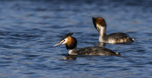 Great Crested Grebe Stock Photo