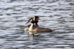 Pair Great crested grebe Stock Photos