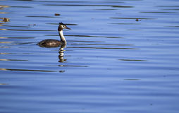 Great-crested Grebe Stock Image