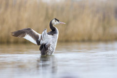 Great crested grebe in mating Stock Photo