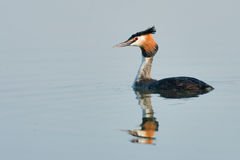 Great crested grebe Royalty Free Stock Photography