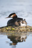 Great crested Grebe mother with chicks. Great crested grebe mother with two babies on her back Stock Photos
