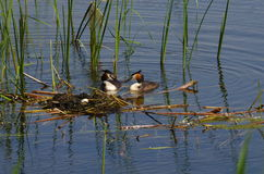 Great Crested Grebe. Near the nest Stock Photo
