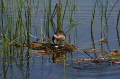 Great Crested Grebe. In the nest Stock Images