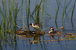 Great Crested Grebe. In the nest Royalty Free Stock Photos