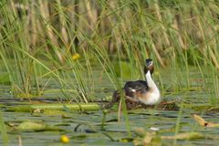 Great Crested Grebe on Nest Stock Photo