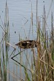 Great crested grebe nest with eggs Stock Photography