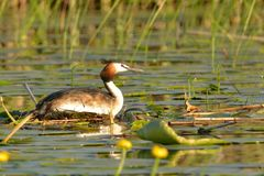 Great Crested Grebe on Nest Stock Photos