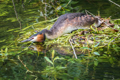 Great Crested Grebe and nest Stock Photos