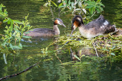 Great Crested Grebe and nest Royalty Free Stock Image