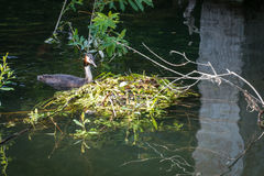 Great Crested Grebe and nest Royalty Free Stock Photo