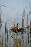 Great crested grebe on the nest. Great crested Grebe take care his nest. Dad really done all to pull me away from nest. Grebe are one of the best parents in stock photos