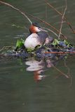 Great crested grebe nesting. A great crested grebe nesting, taken with almost 1000mm focal length (35mm Royalty Free Stock Image
