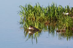 Great crested grebe nesting. Great crested grebe at a birdnest Stock Photo