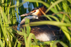 Great Crested Grebe On Nest Stock Images