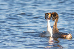 Great Crested Grebe Pair courting Royalty Free Stock Images