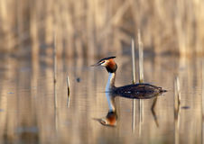 The Great Crested Grebe (Podiceps cristatus) Royalty Free Stock Photography