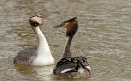 Great Crested Grebe (Podiceps cristatus) royalty free stock image