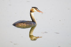 Great crested grebe, podiceps cristatus Royalty Free Stock Image