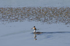 Great Crested Grebe ( Podiceps cristatus ). Swimming in the river Stock Images
