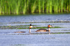 Great Crested Grebe ( Podiceps cristatus ) Stock Image